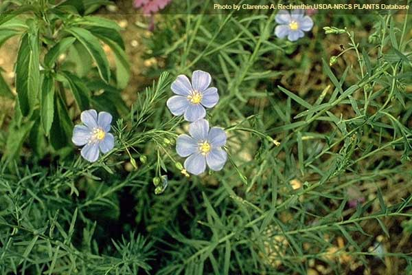 Lewis Flax carechenthin PLANTS
