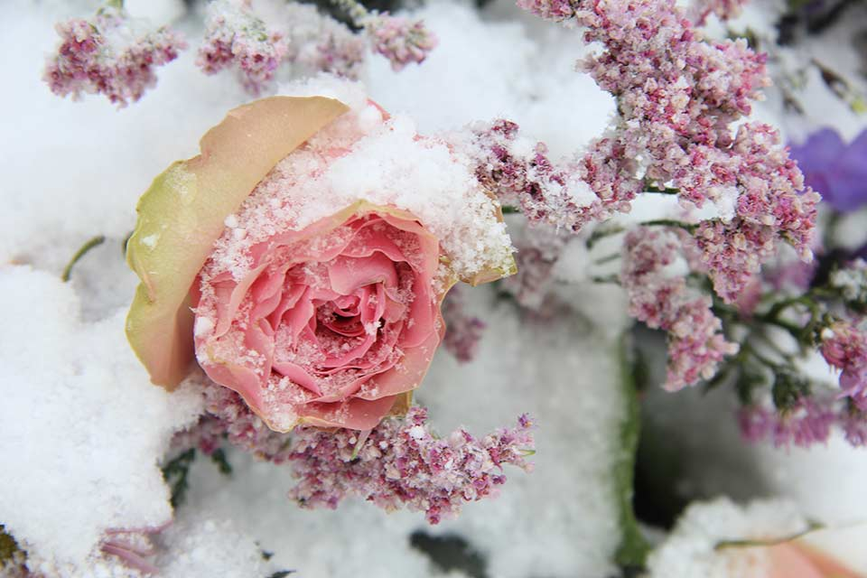PGG winter rose