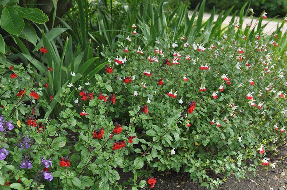Salvias 'Hot Lips', 'Javier' and 'Bumble'