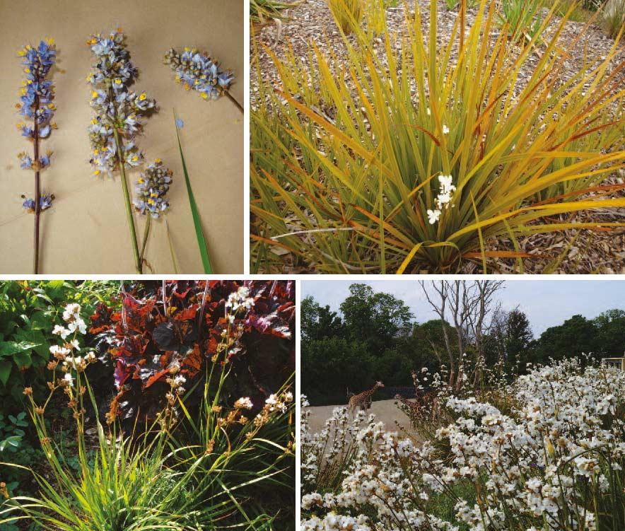Untangling the names of Libertia species
