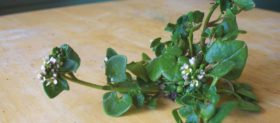 Danish scurvy grass