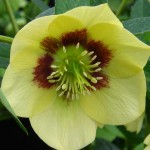 Hellebore - PGG visit to Ashwood Nursery 2011