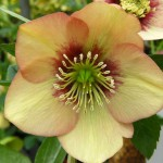 Hellebore peach - PGG visit to Ashwood Nursery 2011