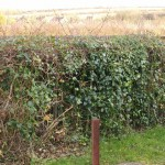 Old dividing hedge covered with Ivy and Vinca