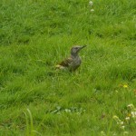Green Woodpecker in garden