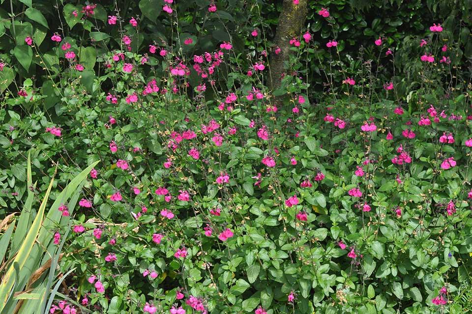 Salvia 'Cerro Potosi'