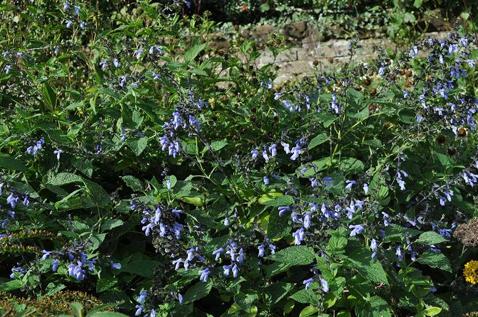 Salvia meyeri