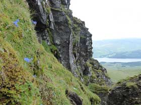 Ben Lawers rock ledge with Alpine forget-me-nots